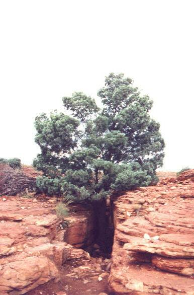Baum Kings Canyon